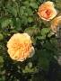 Rose orange, オレンジ色 ローズ