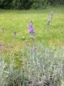 Lavendel ラベンダー