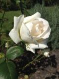 Rose weiß, 白いローズ