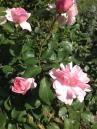Rose pink, ピンク色ローズ