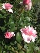 Rose ローズ