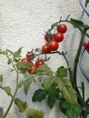 Tomaten トマト