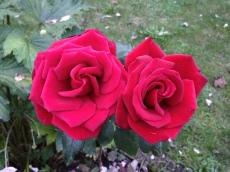 Rose rot, 赤色 ローズ