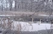 Schwäne auf dem Eis