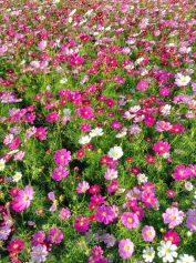 Kosmen Blumenmeer im Island-Park