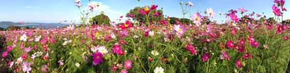 Kosmeen Blumenmeer im Island-Park