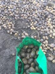 Kartoffeln stoppeln